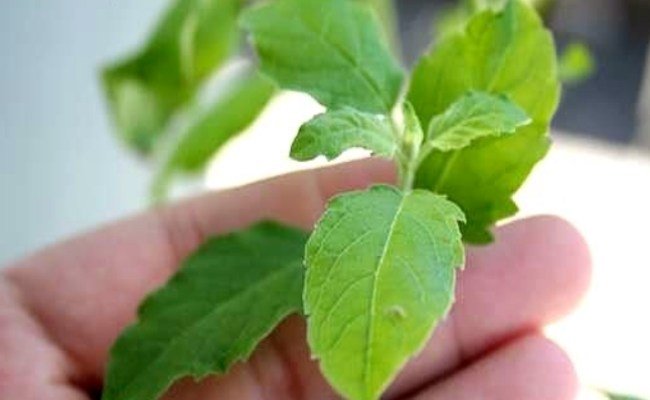 Basil For Staph Infection