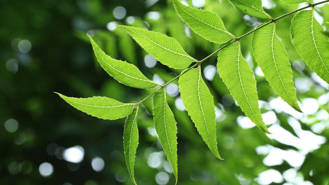 Neem for oily skin