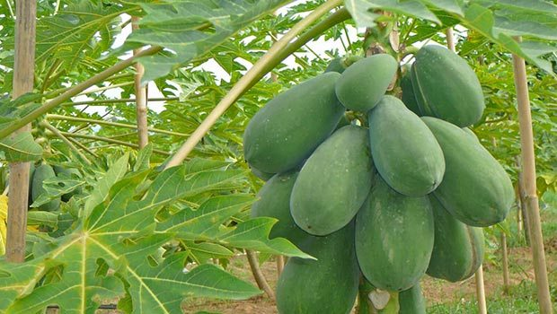 Papaya For Delayed Periods
