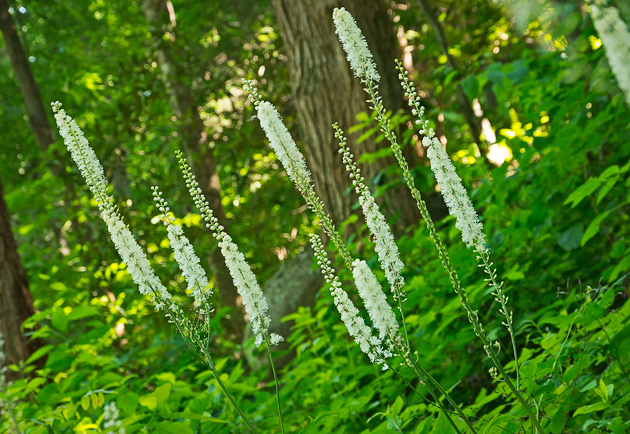 Black Cohosh for Abortion