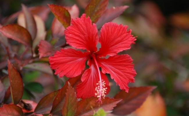 Hair Loss Treatment with Hibiscus
