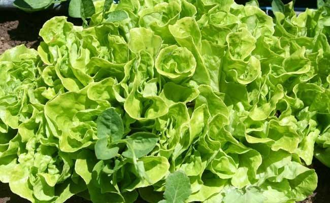 Hair Loss Treatment with Lettuce