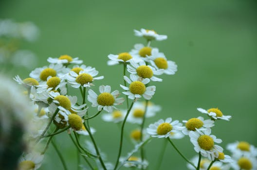 Chamomile Spray for Itchy Scalp