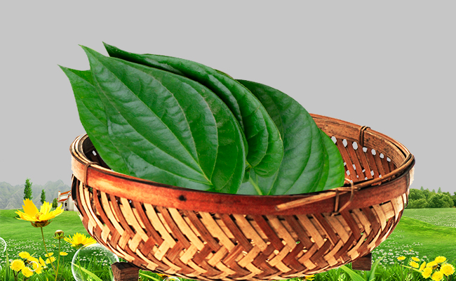 Betel Leaves for Vaginal Discharge
