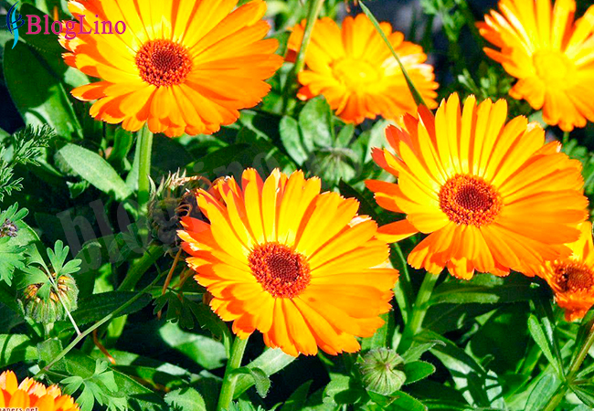 Calendula for Rashes on Skin