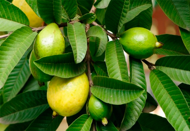 Guava Leaves for White Discharge or Leucorrhoea