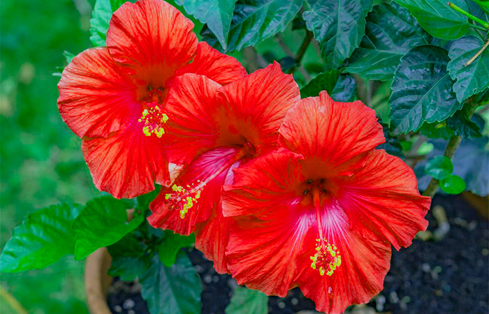 Hibiscus Flower for Black Hair Naturally