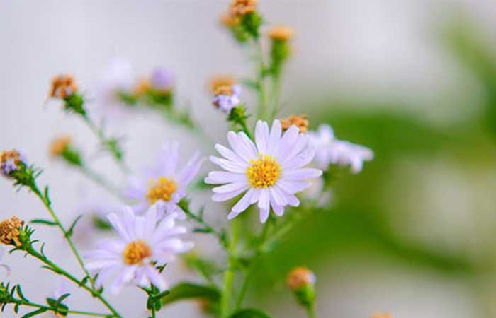 Chamomile for Lighten Facial Hair