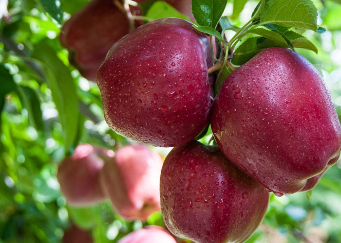 Apples to prevent Cancer Risk