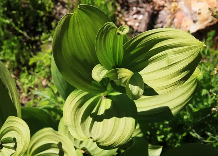 False-hellebore-to-Avoid-Pregnancy